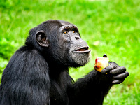 IR0K5362_chimp_850.jpg